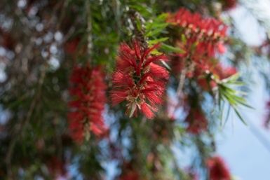 Bottle Brush in Ashfield, Sydney