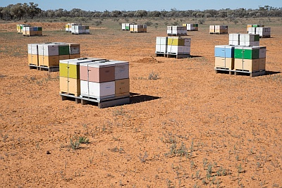 Outback Bees for honey from Eulo