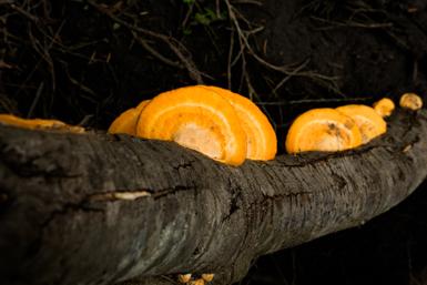 Fungi on Jibbon Head Loop