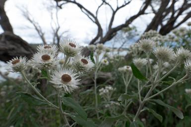 Flannel Flowers on Jibbon Head Loop