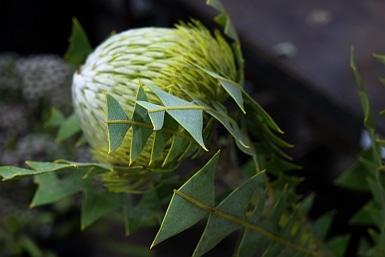 Beautiful banksia