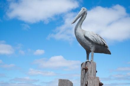 Pelican at American River