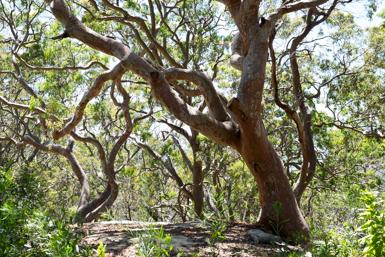 Eucalyptus Trunks