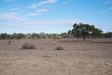 Kangaroo on the road