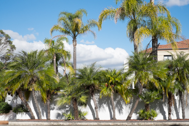 Palm trees in Strathfield