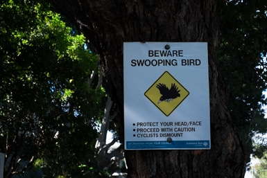 Warning Swooping Bird in Taren Point