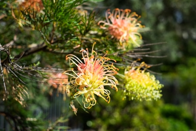 Grevillea in Taren Point